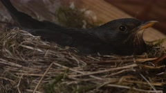 Close up of a female Blackbird breeding and leaving its nest Stock Footage