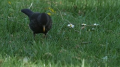 Slow motion of a female Blackbird hunting an earthworm on a lawn Stock Footage