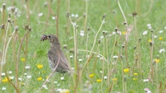 Close up of a Song thrush catches an earthworm on a lawn Stock Footage