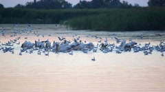 Many birds forage on water at dawn Stock Footage
