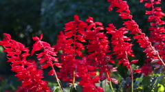 Beautiful red autumn flowers Stock Footage