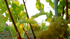 Pretty Young Female Dancing In Vineyard at Sunset, slow motion Stock Footage