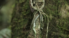 Ghost orchid roots Stock Footage