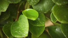 Sprayed water is falling on the leaves of a green plant. Stock Footage