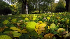 Man Collets Exotic Osage Tree Fruits in Autumn Park Stock Footage