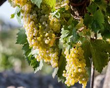 Tuscan vineyard with red grapes. Stock Photos