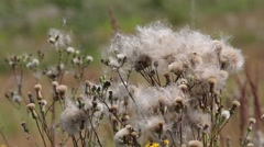 Wind tears off dry seeds of Cirsium arvense Stock Footage