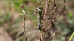 A pair of dragonflies copulates Stock Footage