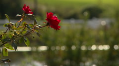 Red rose white fence and pond Stock Footage
