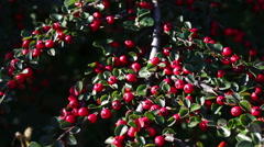 Beautiful red berries on bush Stock Footage