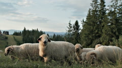 SHEEP PASTURE Stock Footage