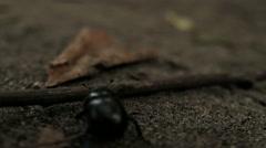 BLACK BEETLE WALK THROUGH THE STICK Stock Footage