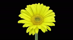 Time-lapse of opening yellow gerbera flower in RGB + ALPHA matte format Stock Footage