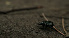 BLACK BEETLE WALK THROUGH THE FOREST Stock Footage