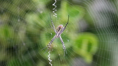 Banded garden spider sits in the center of the web and moves pedipalps Stock Footage