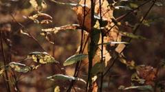 Autumn leaves on tree Stock Footage