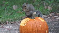 Squirrel eating pumpkin Stock Footage