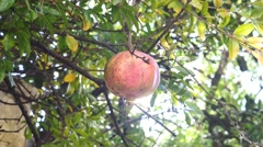 Red pomegranates on the tree Stock Footage