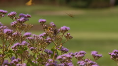 Purple flowers and golfers Stock Footage