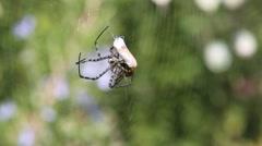 Banded garden spider (Argiope trifasciata)  shrouds prey Stock Footage