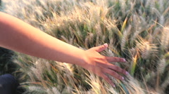 Female girls hand feeling the top of a field of barley crop Stock Footage
