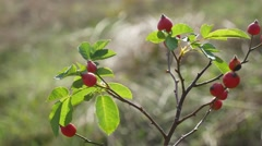 Red rosehip berries on a tree branch nature bush Stock Footage