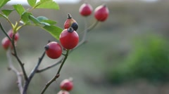 Red rosehip berries on a bush branch nature tree Stock Footage