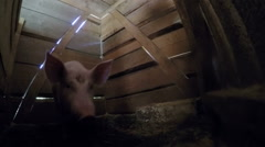 Funny pig closeup.point of view Stock Footage