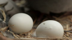Pigeon bird hatching egg in home loft Stock Footage