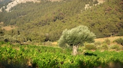 Olive tree in Rhodes, Greece Stock Footage