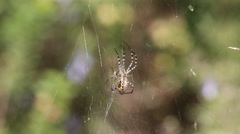 Couple of  Banded garden spiders (Argiope trifasciata). Male and female Stock Footage