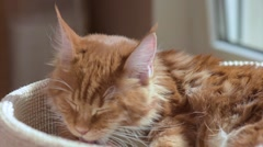 Maine coon cat washes Stock Footage