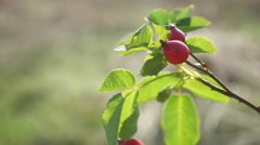 Red rosehip berries on a tree branch bush nature Stock Footage