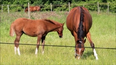 Brown horses, mother and foal on meadow Stock Footage