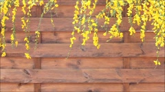 Genista yellow flower on brown wooden wall Stock Footage