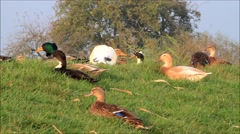 Ducks on dike resting and flying away Stock Footage