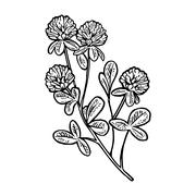 Branch of clover. Vector engraving vintage black illustration. Stock Illustration