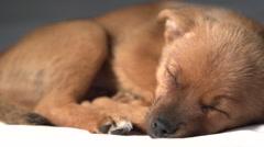 Cut little puppy fast asleep Stock Footage