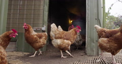 Chickens inside a chicken coop, agriculture Stock Footage