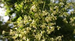 Styphnolobium japonicum Schott (Sophora japonica) Stock Footage