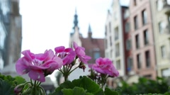 Pelargonium zonale, known as wildemalva Stock Footage