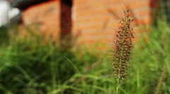 Pennisetum alopecuroides (Chinese fountaingrass) Stock Footage