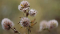 Trifolium arvense, known as hare's-foot clover Stock Footage