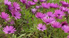 Purple Osteospermum (daisybushes) Stock Footage