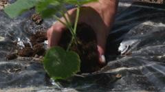 Gardener planting tree seedling, hands close up by Sheyno. Stock Footage