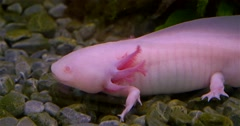 Axolotl, Mexican Salamander (Ambystoma Mexicanum) or Mexican Walking Fish Stock Footage