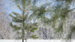 Young Spruce and Birch trees in Frost Stock Footage