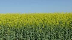 Farmer examine rapeseed field Stock Footage