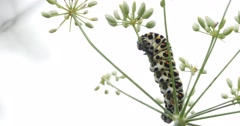 Black caterpillar with white stripes and red dots moving on a bunch of flower Stock Footage