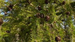 Pinecone on pine tree in autumn Stock Footage